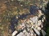 tadpoles-massing-by-the-side-of-the-water-gardens